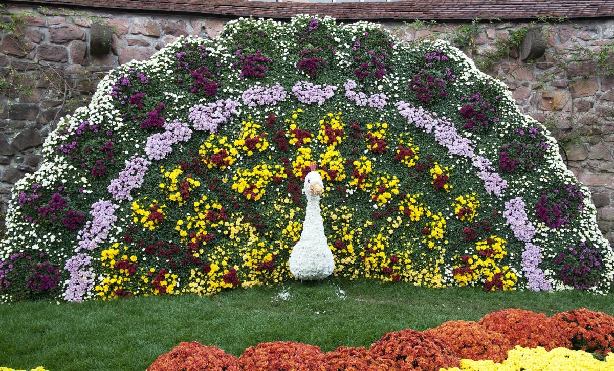 Chrysanthema Lahr